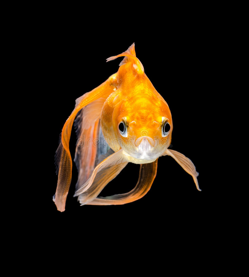 Download Angry Goldfish Stock Photos - Image: 38157183