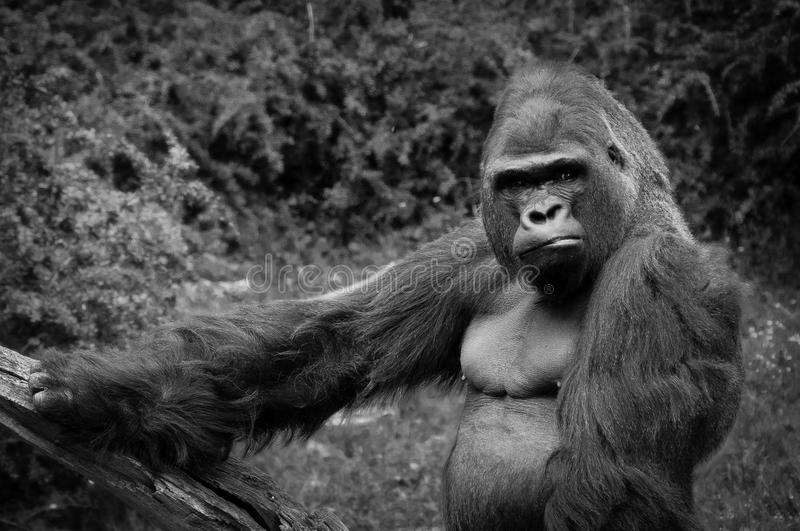 An angry gorilla stock images