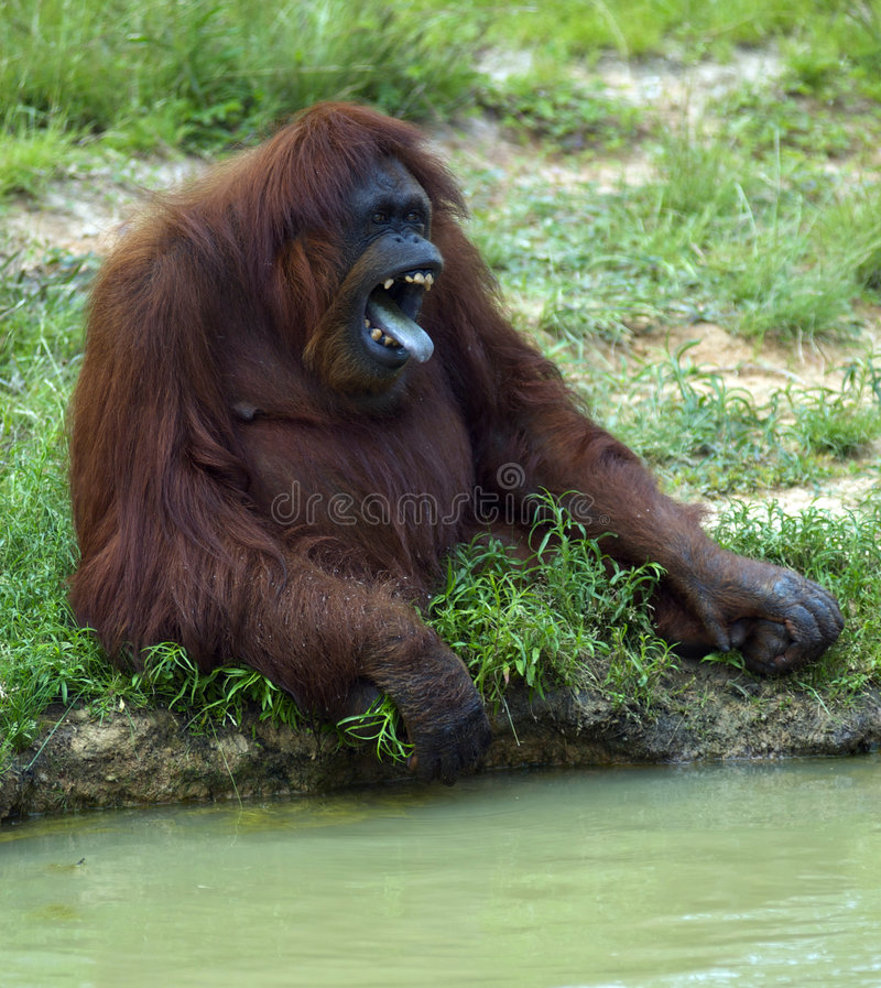 Angry Gorilla stock photo. Image of wild, ugly, anger ...