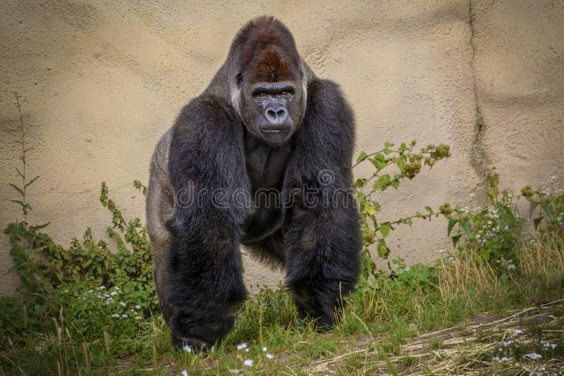 Angry Gorilla look at the Camera stock photos