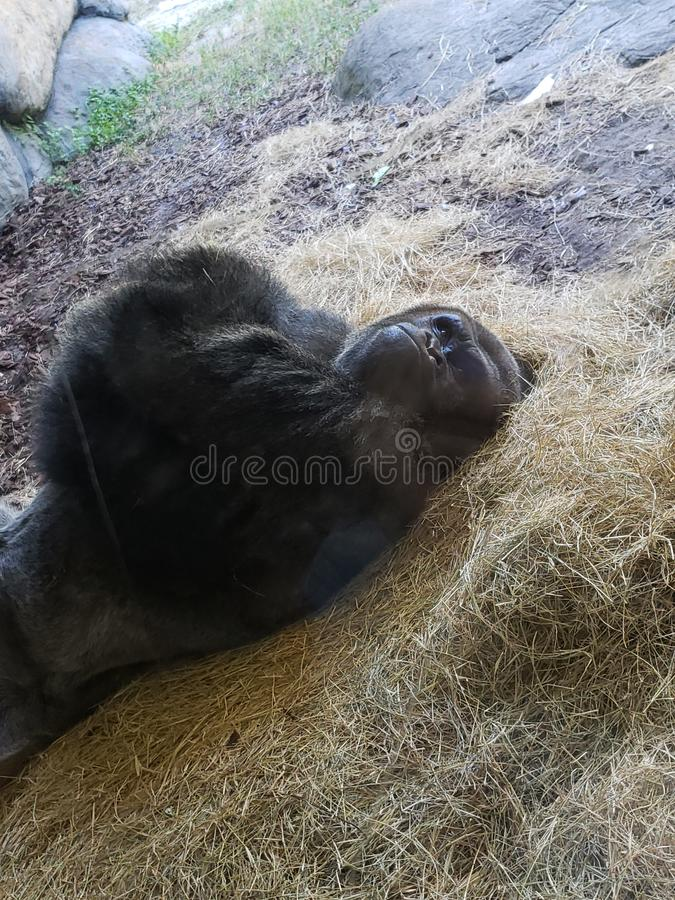 Angry gorilla stock photography