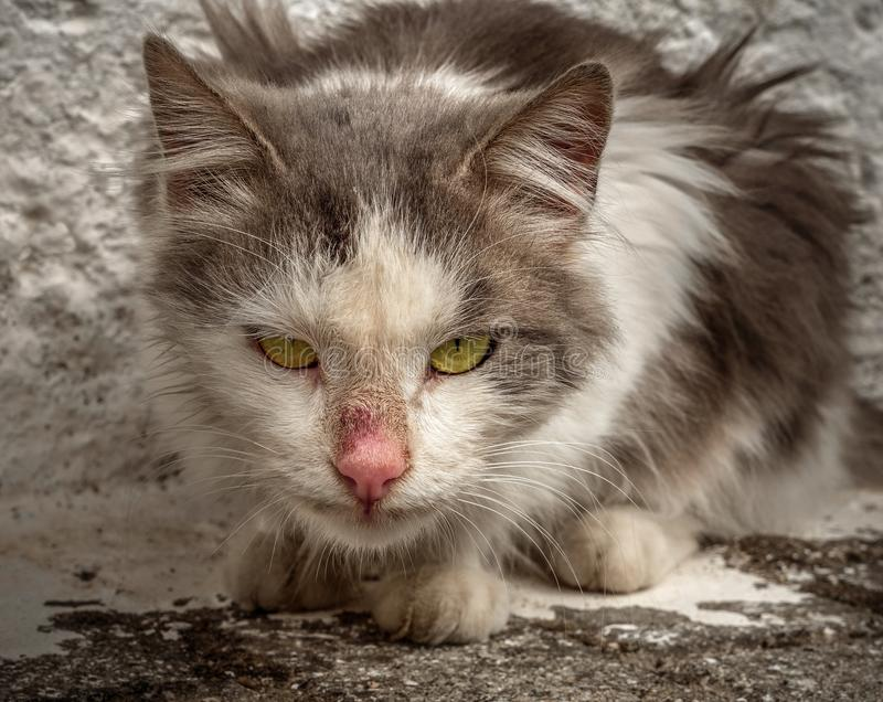 Angry Greek cat with green eyes in Greece royalty free stock image