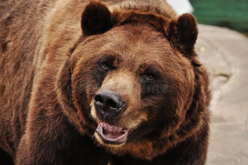 Angry grizzly bear looking for food stock image