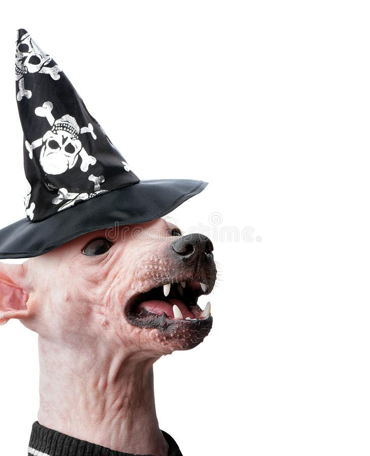 Angry Hairless dog head dressed in black witch hat Halloween greeting card royalty free stock photography
