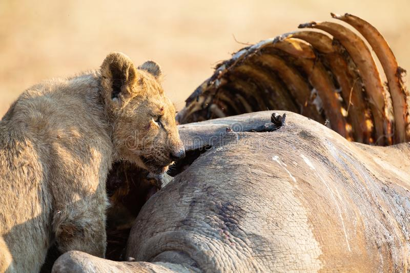 Angry and hungry lioness feed on the carcass of dead rhino royalty free stock photos
