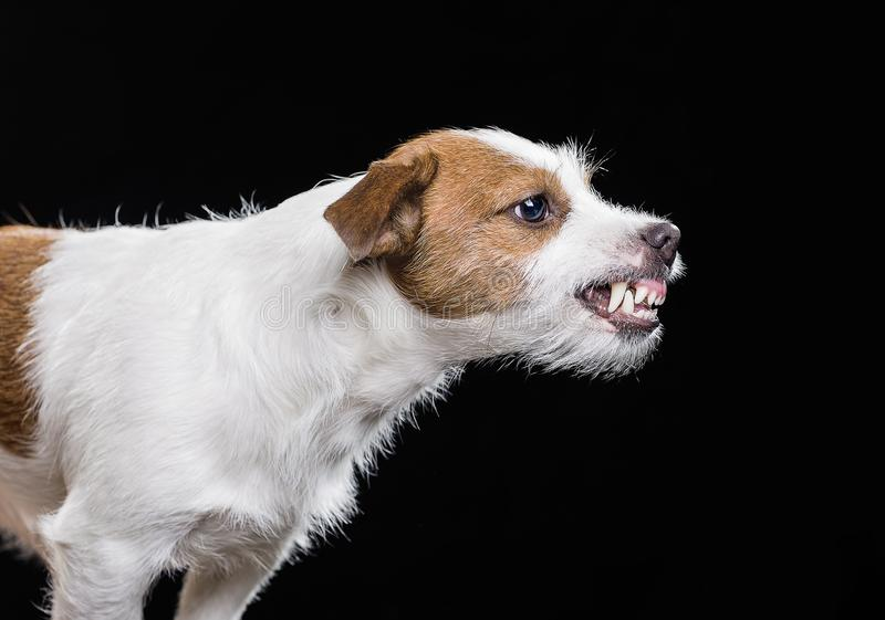 Angry Jack Russell Terrier stock image
