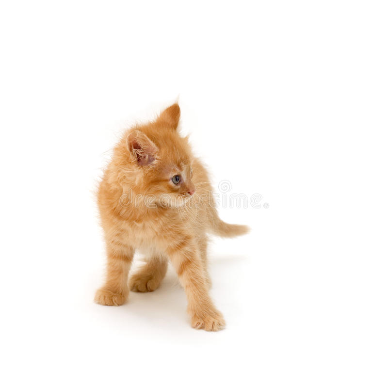 Download Angry kitten stock photo. Image of playful, jumping, aggressive - 14720284