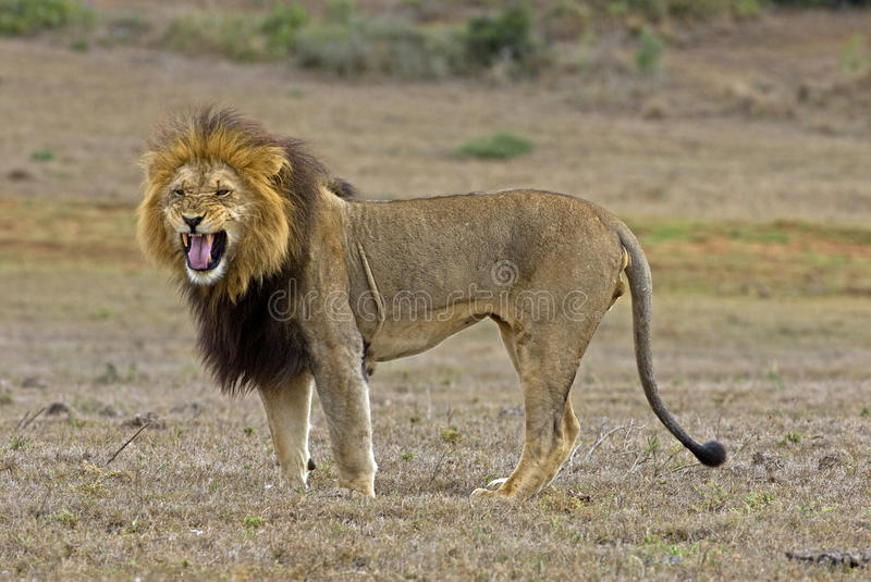 Angry Lion royalty free stock image