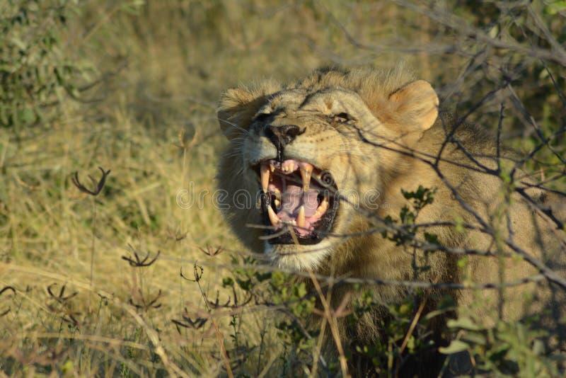 Angry Lion in Kalahari desert in Botswana, colored royalty free stock images