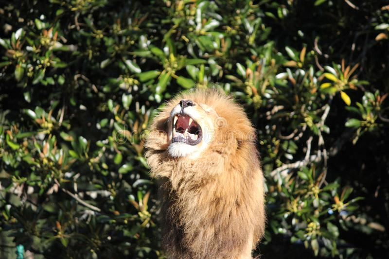 Angry lion roaring, with furry mane showing its teeth stock photos