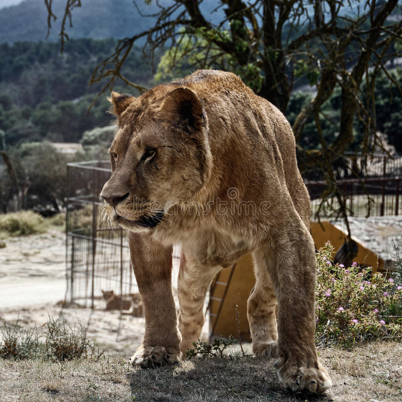 Angry Lioness royalty free stock image