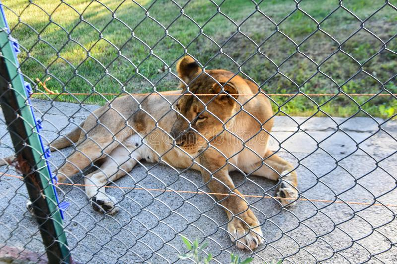 Angry lioness at the zoo. stock photography