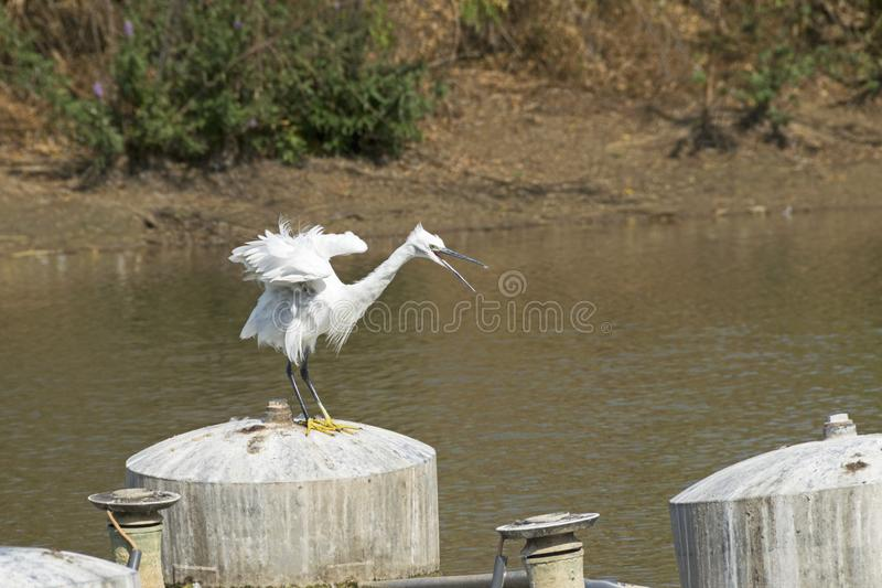 Angry Little Egret Bird in Yarkon Park in Tel Aviv. White angry looking little egret egretta garzetta bird with yellow feet perched on a tank in a Tel Aviv royalty free stock image