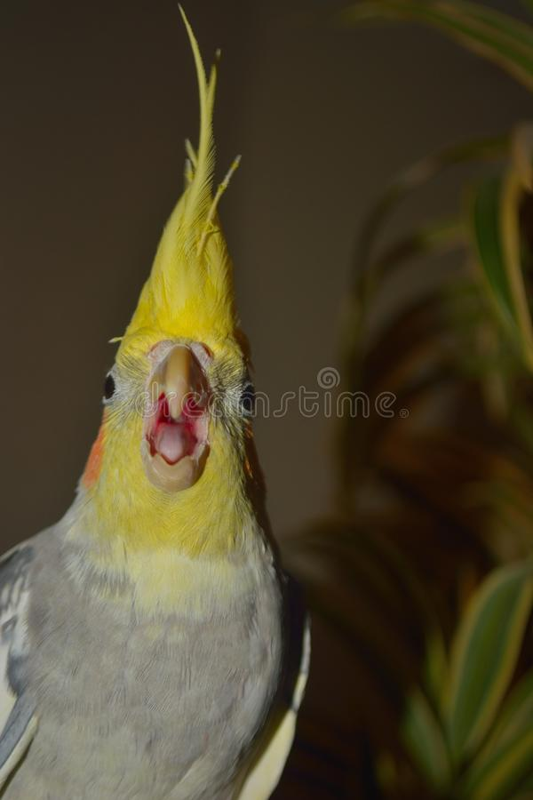 Angry bird making angry noises royalty free stock photos