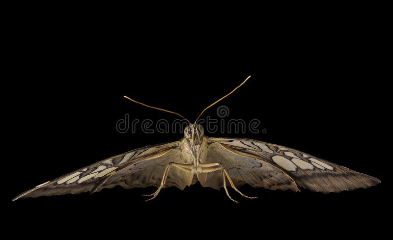 The clipper butterfly is ready to fly. Front view, isolated on black background stock images
