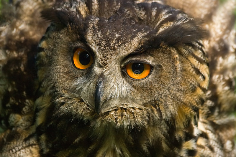 Angry looking eagle owl. With all its feathers set up stock photo