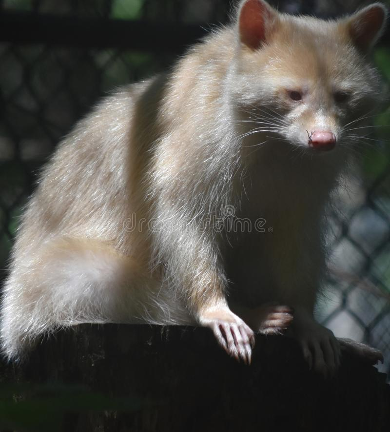 Angry Looking Fisher Cat Seen in Close Up. Large Fisher Cat with Angry Disposition seen About to Stand royalty free stock image