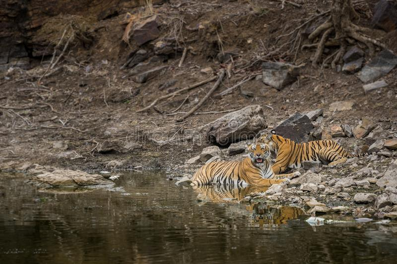 Angry looking mother bengal tiger and her cub with face expression and showing canines to stay away from waterhole at ranthambore. Angry looking mother bengal royalty free stock photography