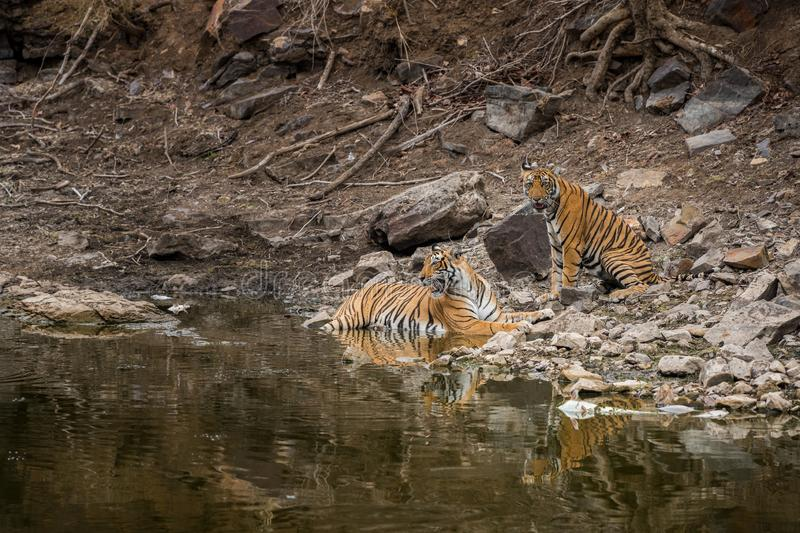 Angry looking mother bengal tiger and her cub with face expression and showing canines to stay away from waterhole at ranthambore. Angry looking mother bengal stock photos