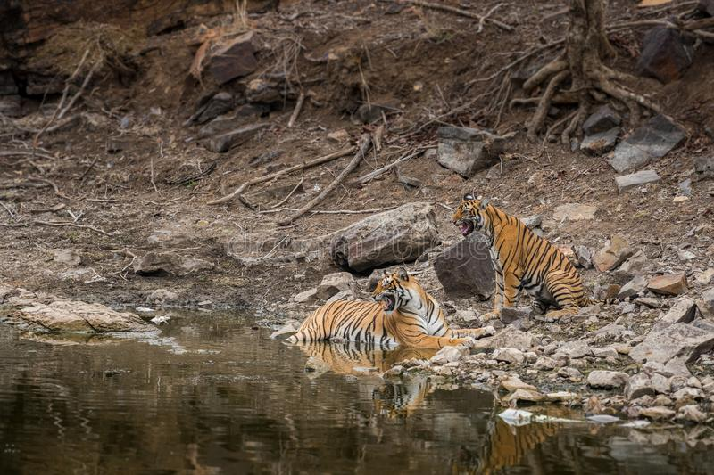 Angry looking mother bengal tiger and her cub with face expression and showing canines to stay away from waterhole at ranthambore. Angry looking mother bengal stock images
