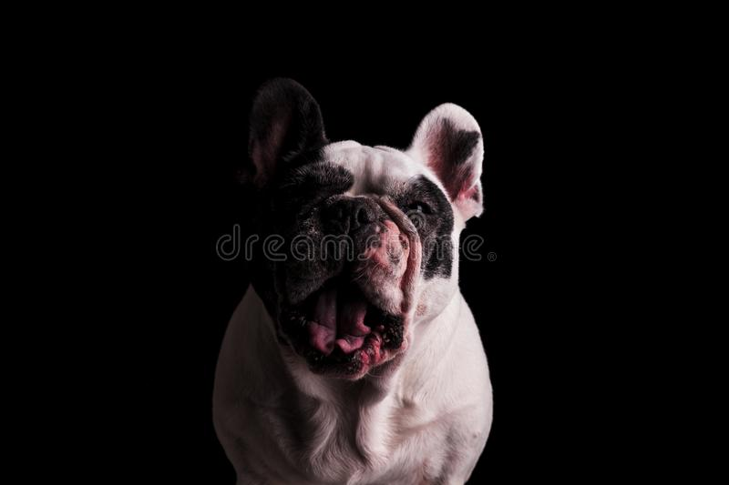 Angry or mad french bulldog. Looking like it is screaming on black background royalty free stock photography