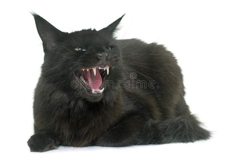 Angry maine coon cat royalty free stock image