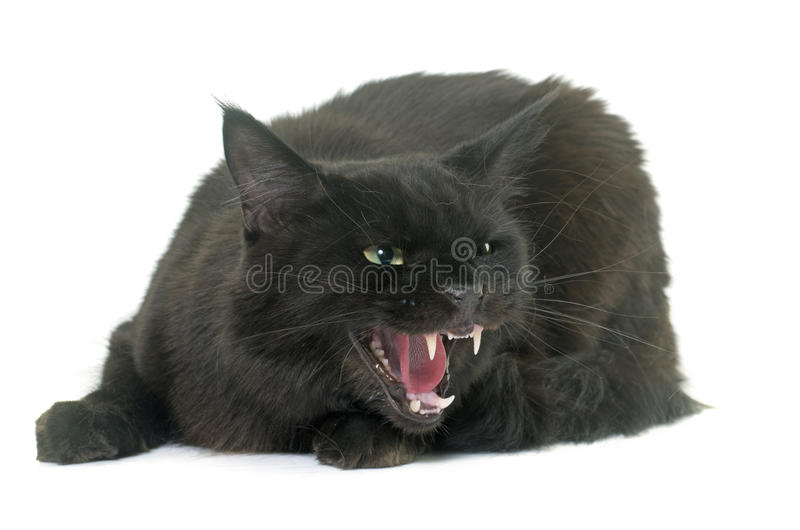 Angry maine coon cat stock photos