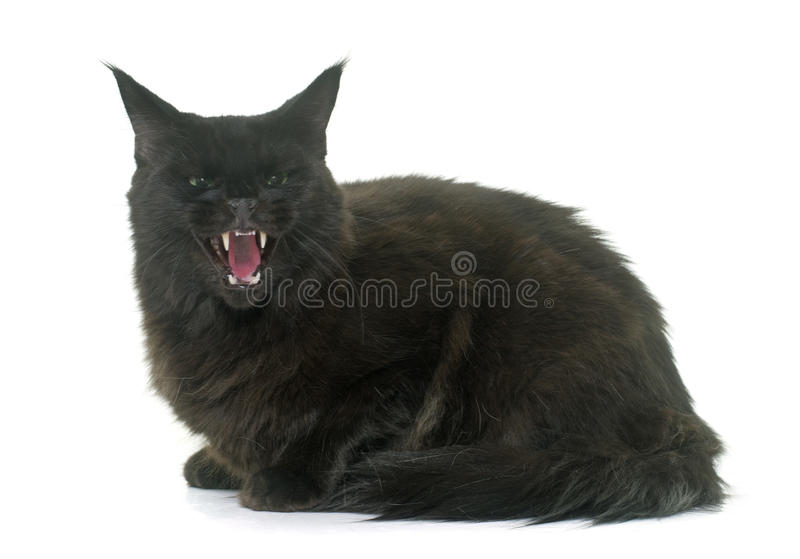 Angry maine coon cat royalty free stock images