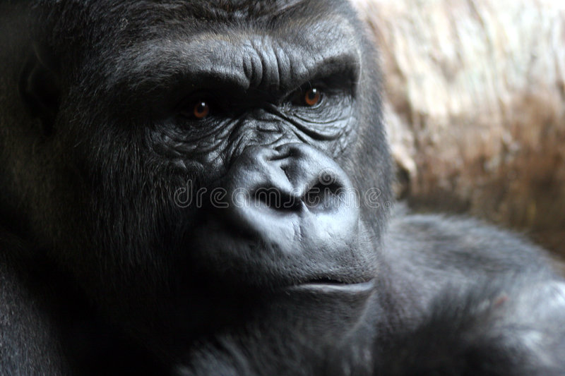 Download Angry Male Gorilla stock image. Image of beast, silverback - 444467