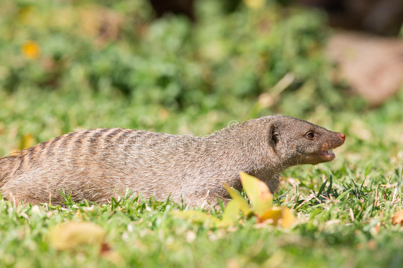 Angry mongoose. With his mouth open royalty free stock photos
