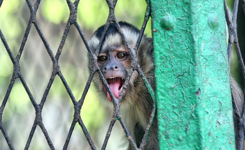 Angry Monkey in cage. Portrait of a monkey feeling angry and sadness behind jail