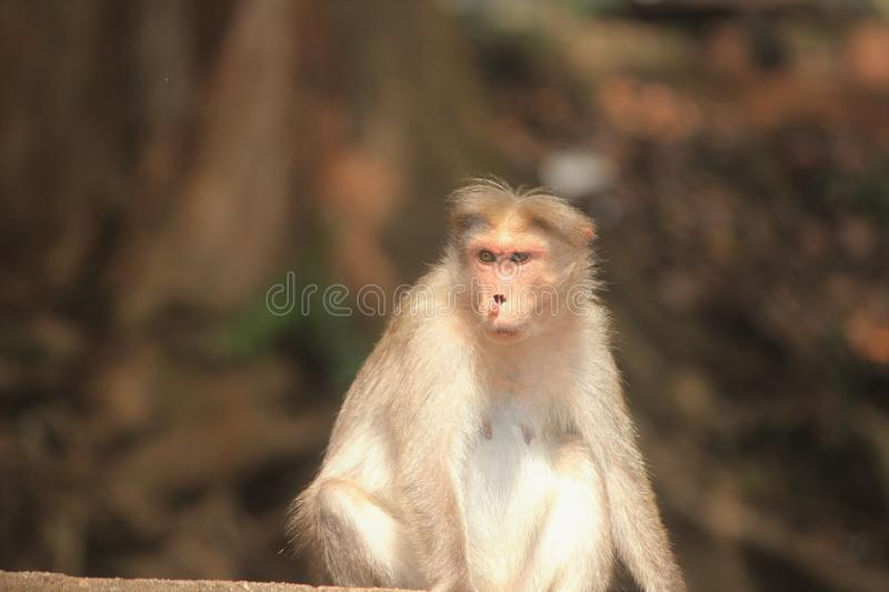 Angry monkey with broken nose royalty free stock photos