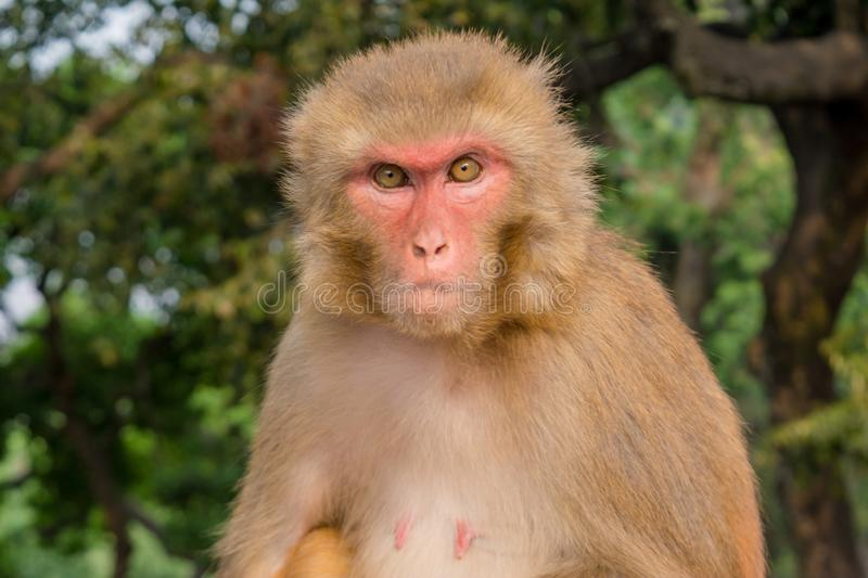Angry monkey staring at the camera stock photo
