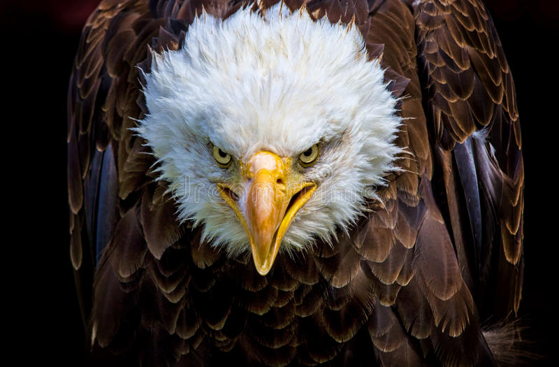 An angry north american bald eagle stock images