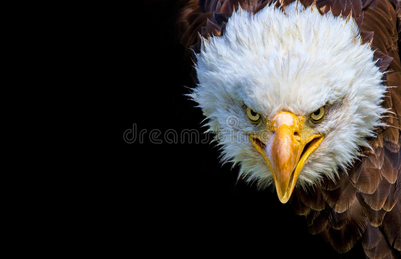 Angry north american bald eagle on black background royalty free stock images