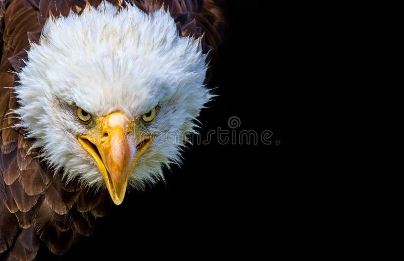 Angry north american bald eagle on black background stock image