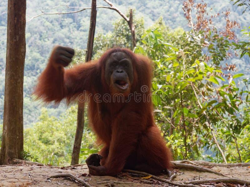 Angry Orang Utan Sumatra Jungle royalty free stock photography