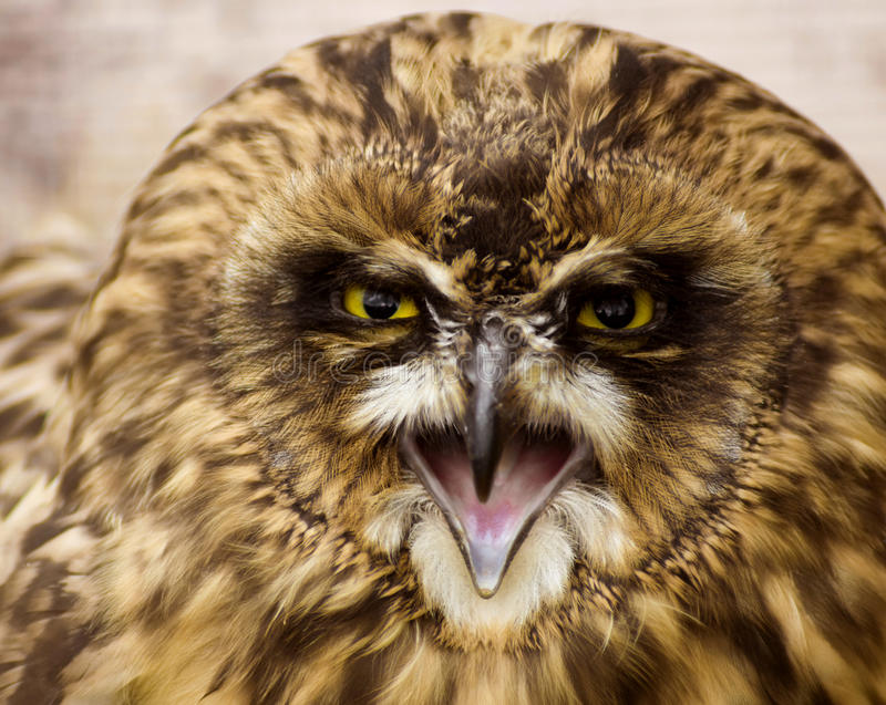 Angry owl royalty free stock image