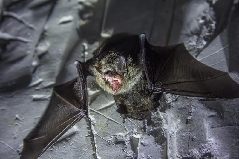 Angry pair of bats disturbed during hibernation royalty free stock photography
