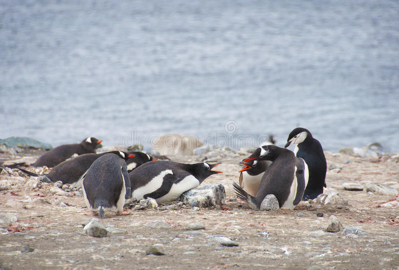 Download Angry penguins stock image. Image of nature, birds, wildlife - 26730795
