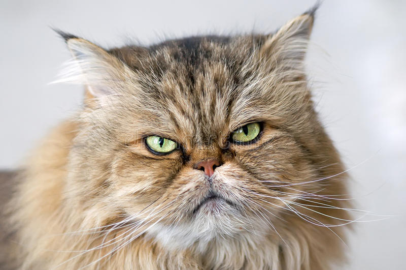 Angry Persian cat. An angry gray and brown persian cat stock photo