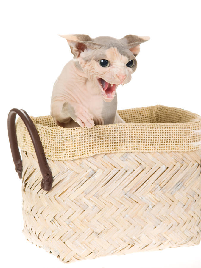 Angry Peterbald sitting in white basket. Angry hissing hairless Peterbald cat in brown woven basket, on white background stock photography