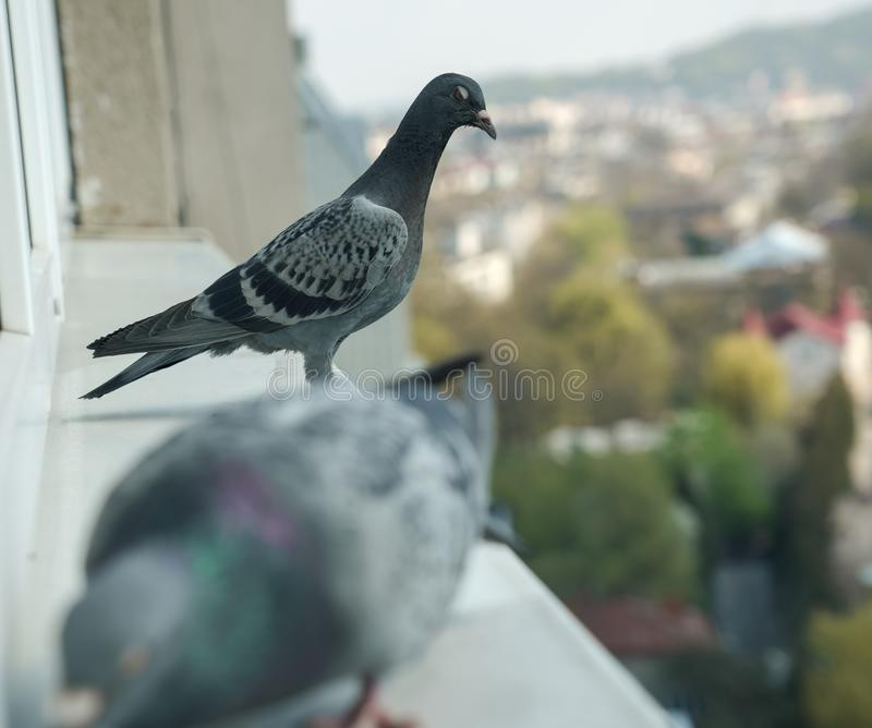 Angry pigeon jealously watching another eating. On windowsill royalty free stock photo