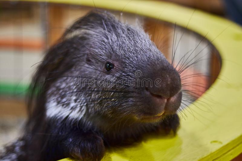 Angry porcupine in a contact zoo close-up. animal protection. animal mockery stock images