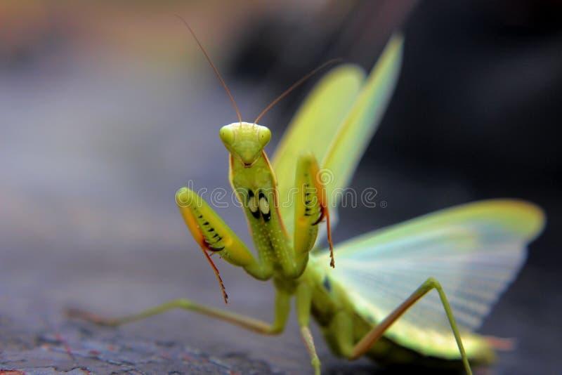 Download Angry Praying Mantis Stock Photo - Image: 44039476