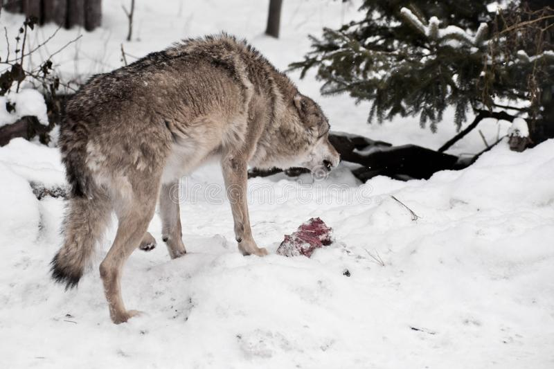 Angry and predatory wolf growls and bares its teeth over a piece of meat among the winter snow chasing away enemies. Wolves in winter royalty free stock image