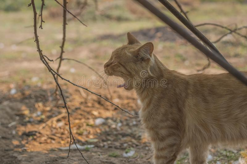 Angry red ginger cat shows teeth. Dissatisfied pet. Meows and growls. Farm Life Village.  royalty free stock images