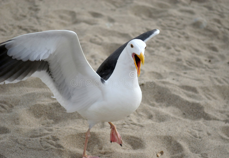 Royalty Free Stock Photos Angry Seagull Image577168