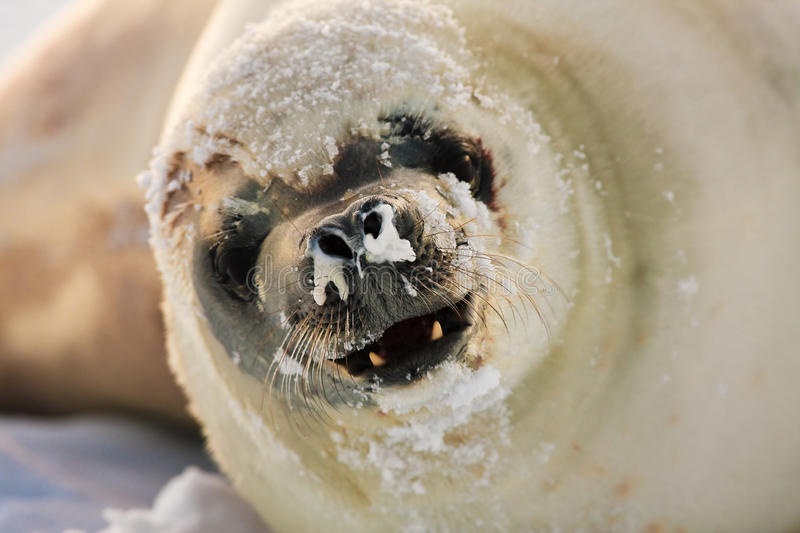 Angry seal stock photography