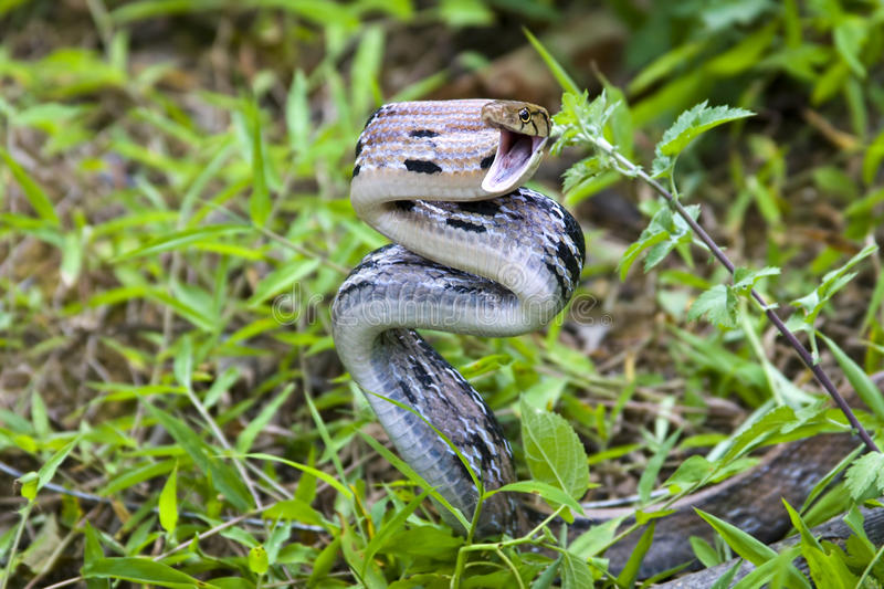 Angry snake. Ready to attack royalty free stock photography